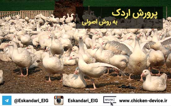 پرورش اردک به روش اصولی