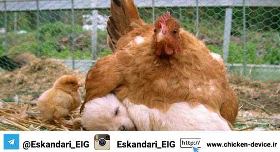 مقدمه ای بر پرورش مرغ بومی