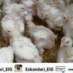 مدیریت در گله پرورش مرغ بومی