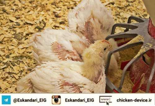 امنیت زیستی در سالن های مرغداری