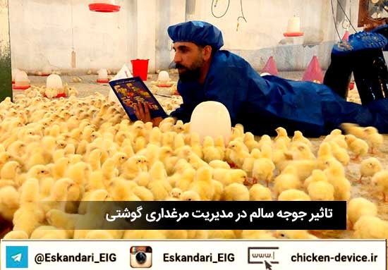 تاثیر جوجه سالم در مدیریت مرغداری گوشتی