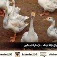 نگهداری و پرورش طیور   اردک