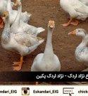 نگهداری و پرورش طیور | اردک