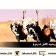 پرورش و نگهداری شترمرغ | تاریخچه تکامل شترمرغ