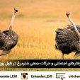 رفتارهای اجتماعی و حرکات جمعی شترمرغ در طول روز