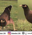 گونه های مختلف مرغ مینا