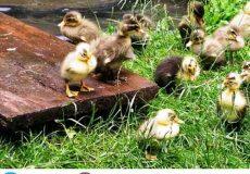 پرورش-اردک-به-صورت-صنعتی