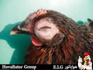 عفونت چشم مرغ در نتیجه بیماری کلی باسیلوز - چیکن دیوایس