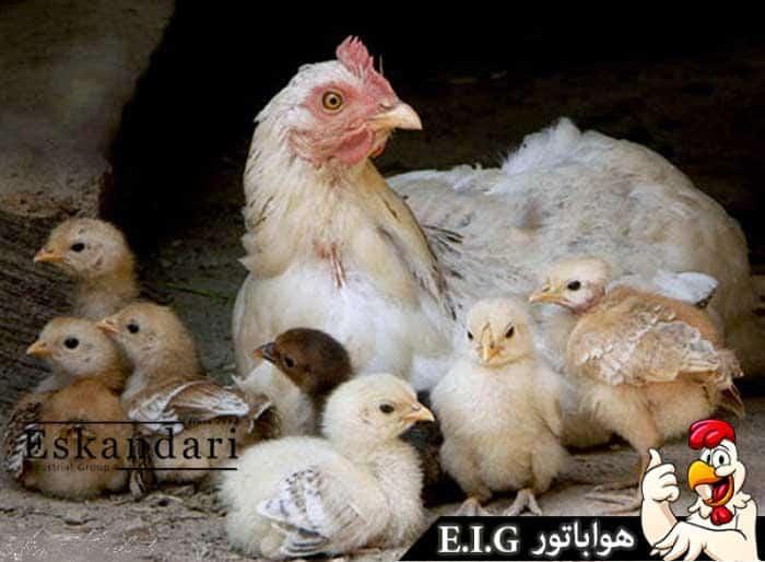 مرغ-کرچ