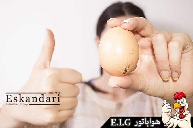تخم نطفه دار آموزش جوجه کشی