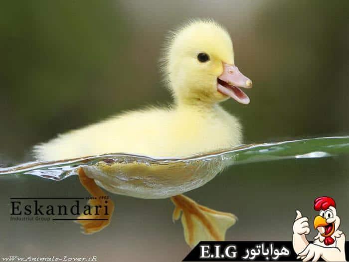 پرورش اردک