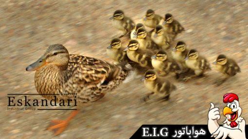 اردک - جوجه کشی
