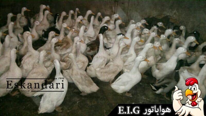 اردک و پرورش اردک