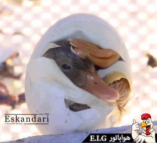 جوجه کشی از اردک