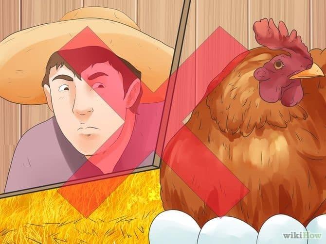 مرغی که تخم هایش را می خورد