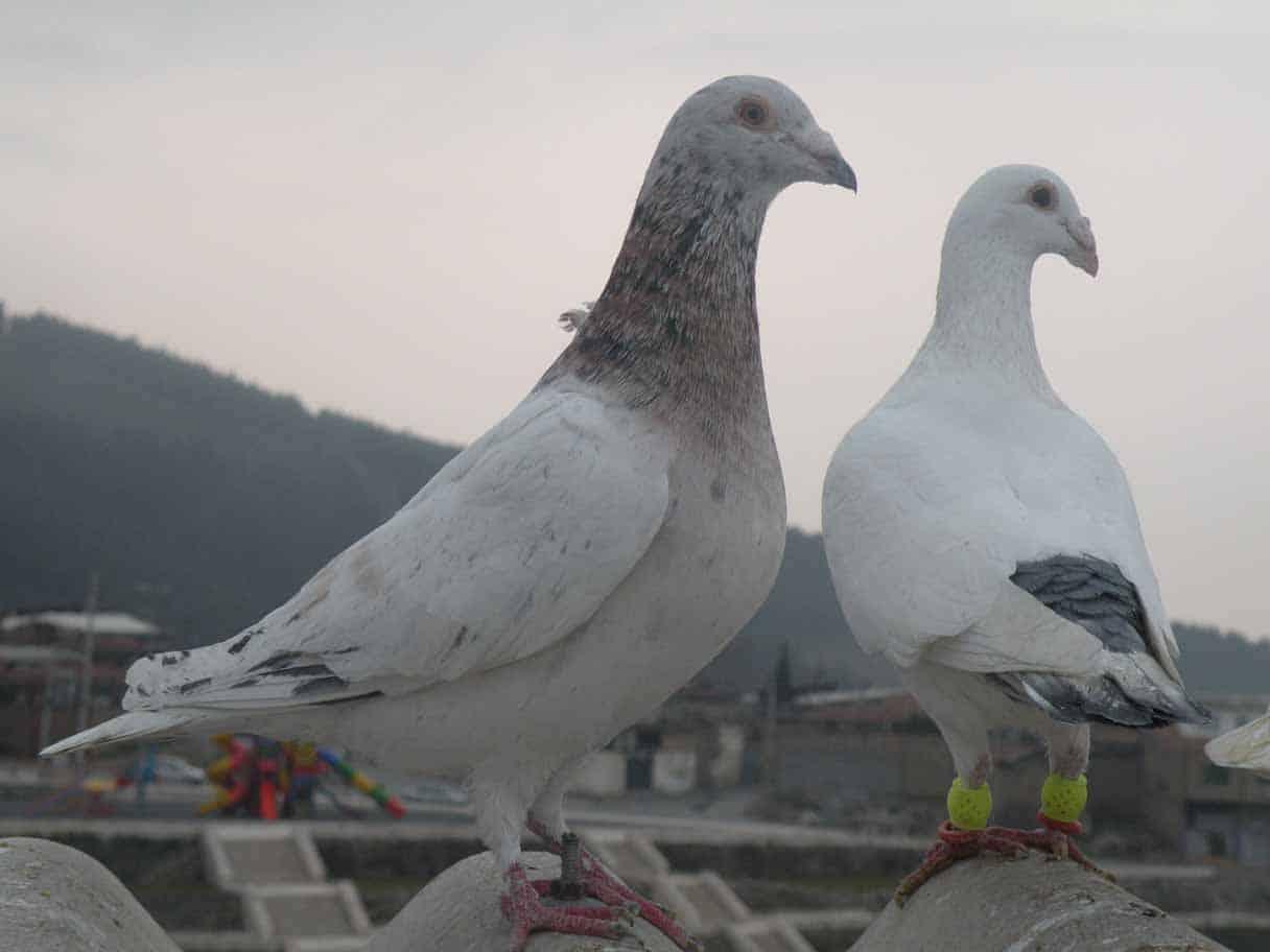 نگهداری کبوتر