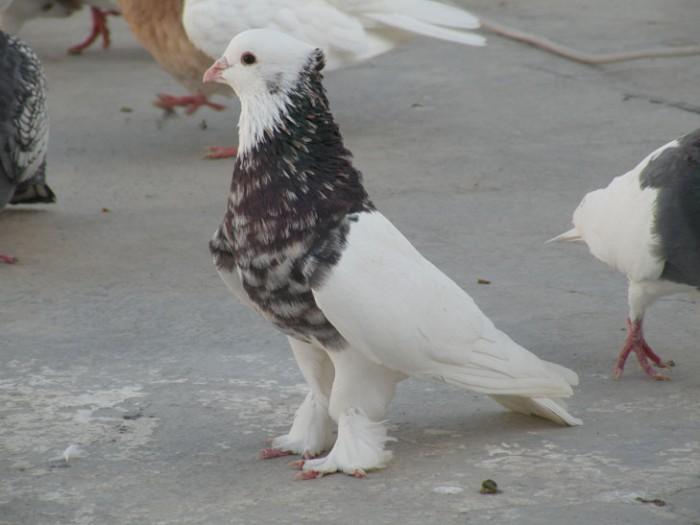 Pigeon_کبوتر