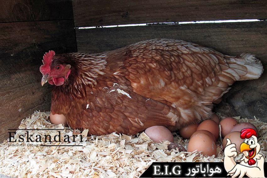تخم-گذاری-مرغ