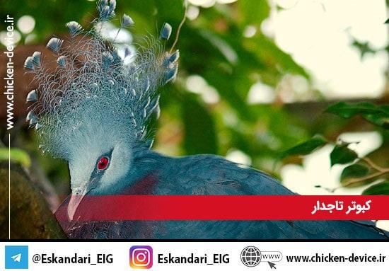 کبوتر تاجدار