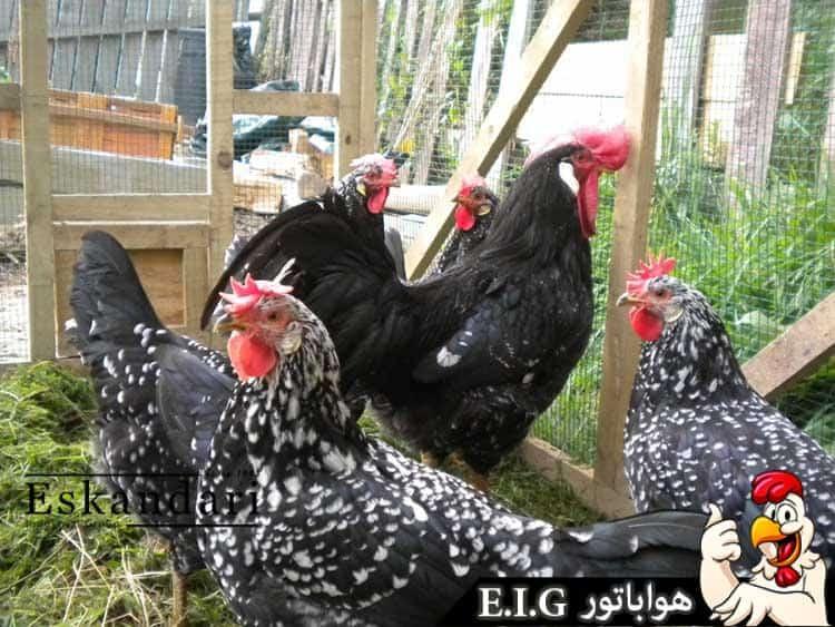 مرغ آنکونا