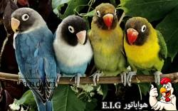 پرنده-ای-به-نام-مرغ-عشق
