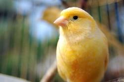 canary-image