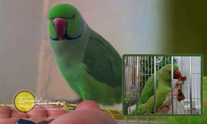 مطلب اموزش حرف زدن به طوطی سبز