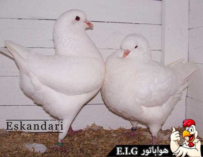 انواع-نژاد-های-کبوتر