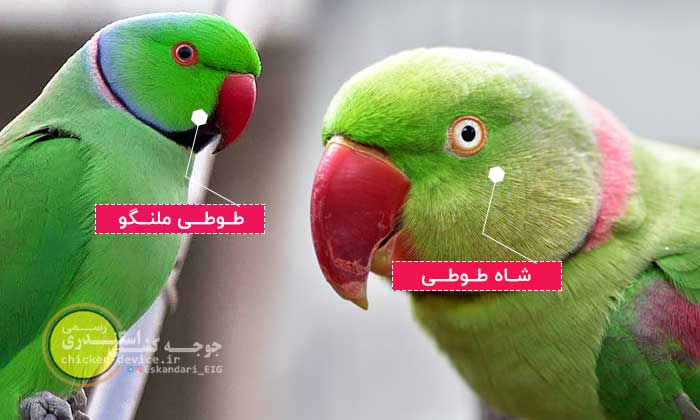 مقایسه طوطی ملنگو و شاه طوطی