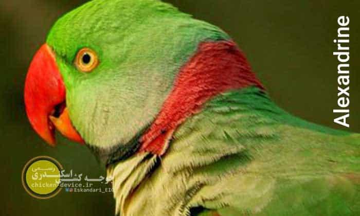 عکس شاه طوطی