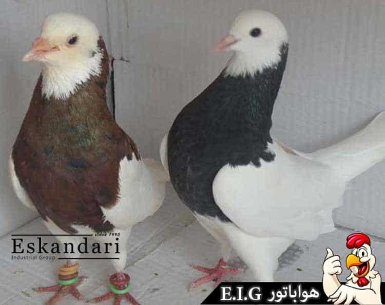 نگهداری-کبوتر