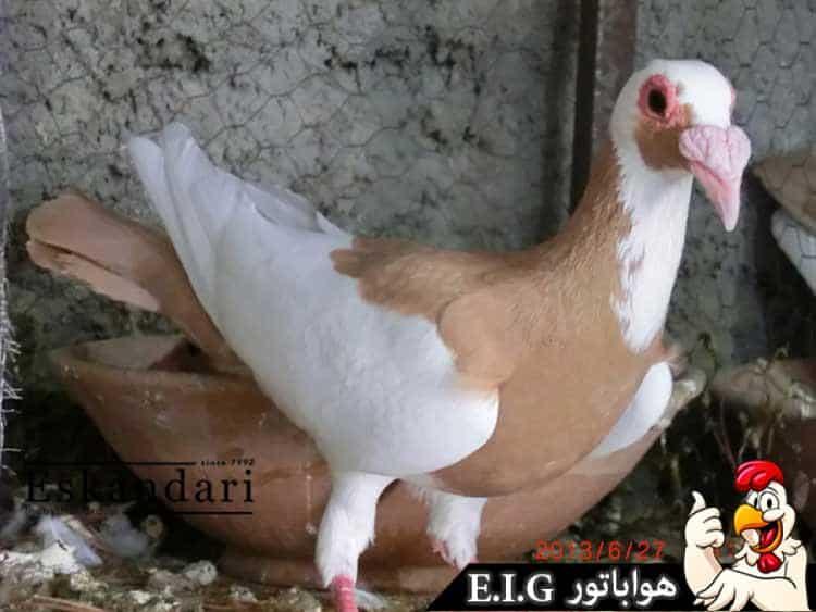 کبوتر-بغدادی
