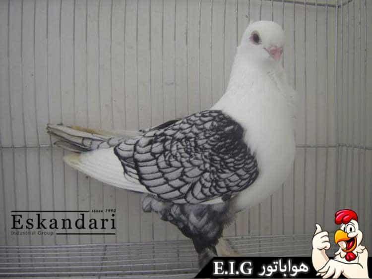 کبوتر--نژاد-شامی