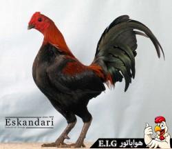 Australian-Games-Fowl