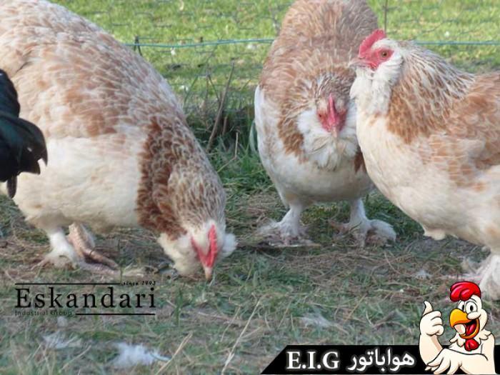 Faverolles-chicken