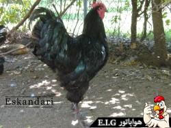Langshan