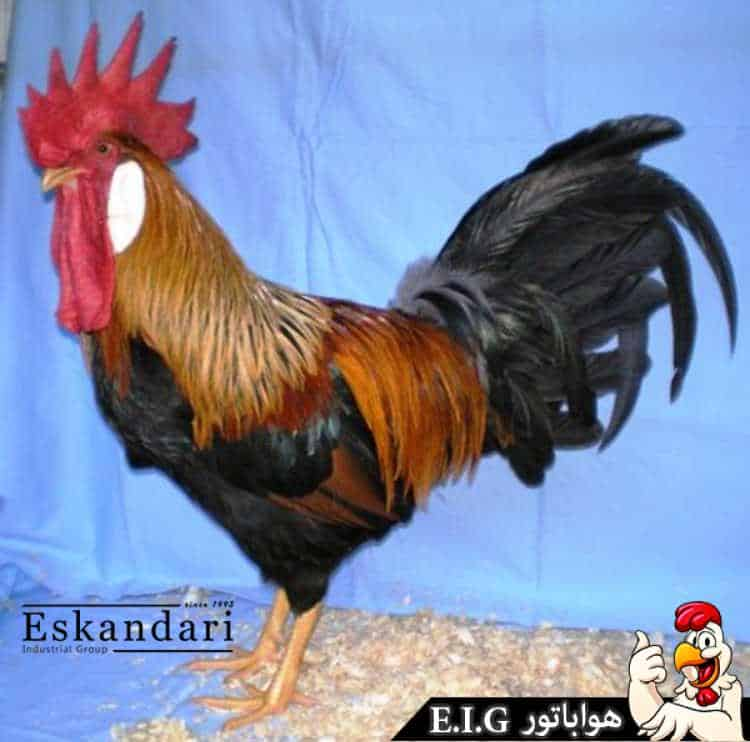 Leghorn-Brown-Male