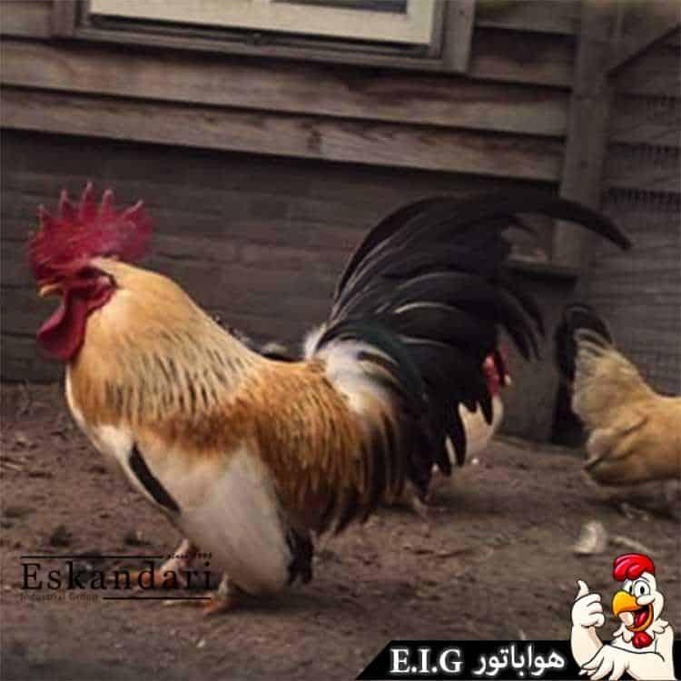 Nagazaki-rooster