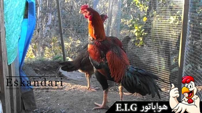 Thai-Game-Fowl