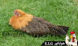 Westphalian-Fowl--خروس