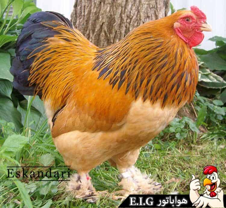 buff-brahma-chickens