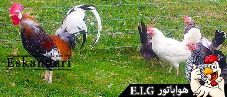icelandic-chickens-rooster-with-the-girls1