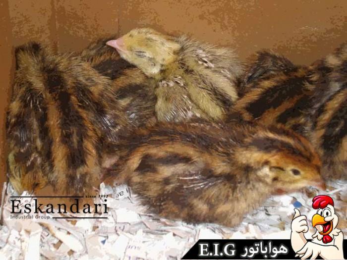 quail-2