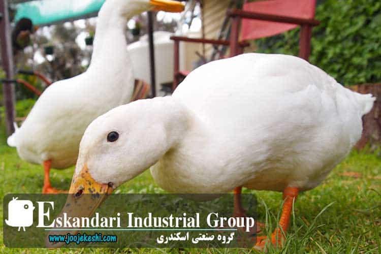 duck-pekani-hatching-eggs