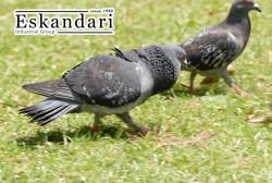 تشخیص جنسیت کبوتر