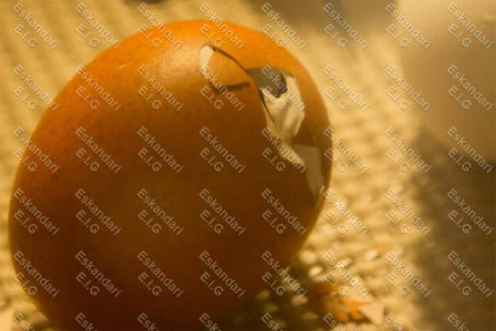 جوجه در حال خروج از تخم