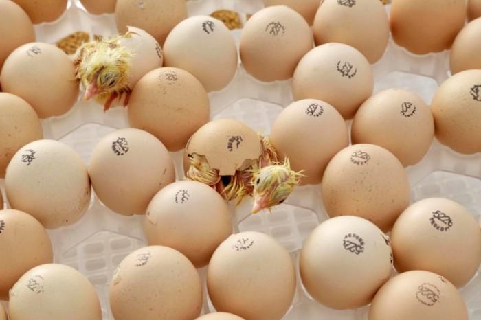 خروج جوجه از تخم
