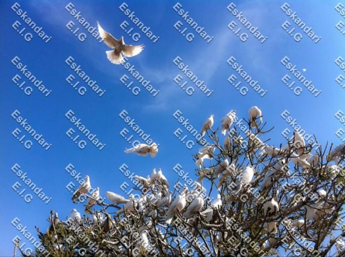 کبوترهای بالای درخت