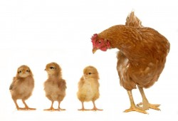 جوجه های مرغ