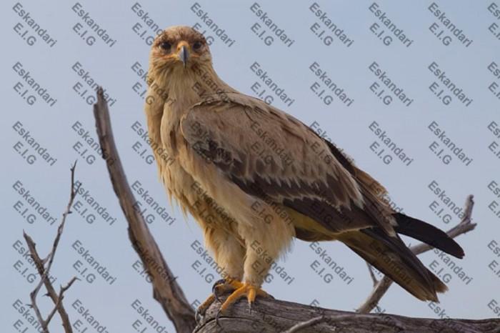 عقاب خاکی
